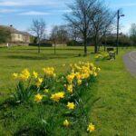 Daffodils in Edmundbyers